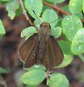 Common Sooty Wing? - Euphyes vestris