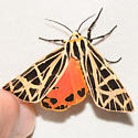 Grammia virgo - Virgin Tiger Moth - Apantesis parthenice