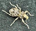 Weevil -? - Ophryastes tuberosus