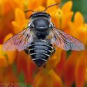 Megachile - mendica? - Megachile mendica - female