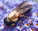 Very large bee on buddleia - Megachile sculpturalis