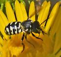 yellow-faced wasp - Dianthidium