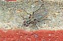 Unknown fly - Anthomyia oculifera - female