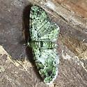 Green Pug moth - Pasiphila rectangulata