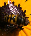 Syrphid on black-eyed susan - Eristalis transversa - male