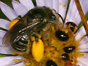 Beetle And Bee (Phalacridae and Apinae) - Olibrus