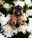 Drone Fly - Eristalis tenax - female