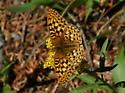 Copper butterfly ?? - Speyeria callippe - male