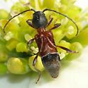 Longhorned beetle - Cyrtophorus verrucosus