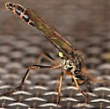 robber fly - Dioctria hyalipennis - male