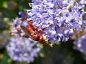 red thick-headed fly - Myopa rubida