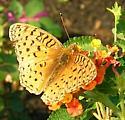 Speyeria - Speyeria aphrodite - male