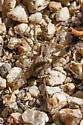 Small Ground Arachnid - ? Varacosa gosiuta or Pardosa spp. - Pardosa