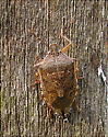 Spined Soldier Bug w/ eggs - Podisus maculiventris - female