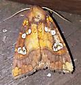 Papaipema nepheleptena - Turtle head borer moth? - Papaipema