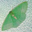Columbian emerald - Nemoria darwiniata - female