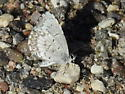 Spring or Northern Azure butterfly - Celastrina lucia