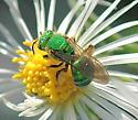 Bee A - unident - Agapostemon sericeus - female