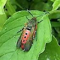 Sesiidae: Melittia cucurbitae - Melittia cucurbitae