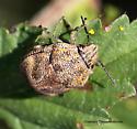 Stink Bug - Orsilochides stictica
