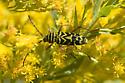 LocustBorer - Megacyllene robiniae