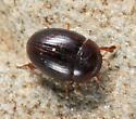 Water Scavenger Beetle - Cercyon assecla