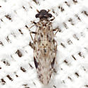 False Lizard Barklouse - Ophiodopelma