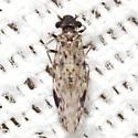 False Lizard Barklouse - Ophiodopelma