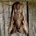 Gray Half-Spot - Nedra ramosula