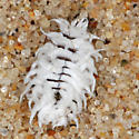 Waxy larva? on sand - Cryptolaemus montrouzieri