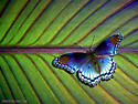 Red Spotted Purple Butterfly - Limenitis arthemis