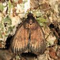 small moth - Idia