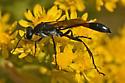 Ammophila 711A 4874 & 4876 - Ammophila