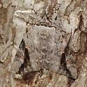 Well-camouflaged moth - Catocala maestosa