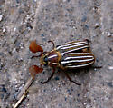 Is this a June bug? - Polyphylla decemlineata