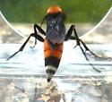 Wasp on glade - Psorthaspis sanguinea