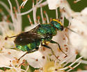 Cuckoo wasp - Hedychrum - male