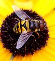Small Fly (Syrphid?) - Eristalis transversa