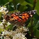 butterfly or moth on red tip photinia - Vanessa virginiensis