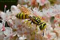 Unknown Wasp - Philanthus multimaculatus