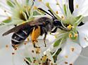 Andrena sp.? - Andrena