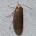 Hodges #5623 – Achroia grisella – Lesser Wax Moth - Achroia grisella