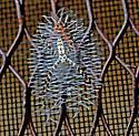 unknown spider - Argiope aurantia