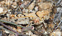 Which Grasshopper is this? - Cibolacris parviceps - female