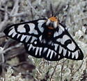 Hemileuca Magnifica  - Hemileuca magnifica