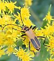 Unidentified Beetle - Chauliognathus pensylvanicus