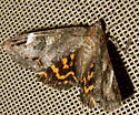 Underwing? - Euparthenos nubilis
