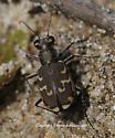 Tiger Beetle - Cicindela repanda