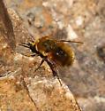 Bombyliidae- - Lordotus