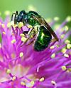 Small green metallic bee - Augochlorella - female